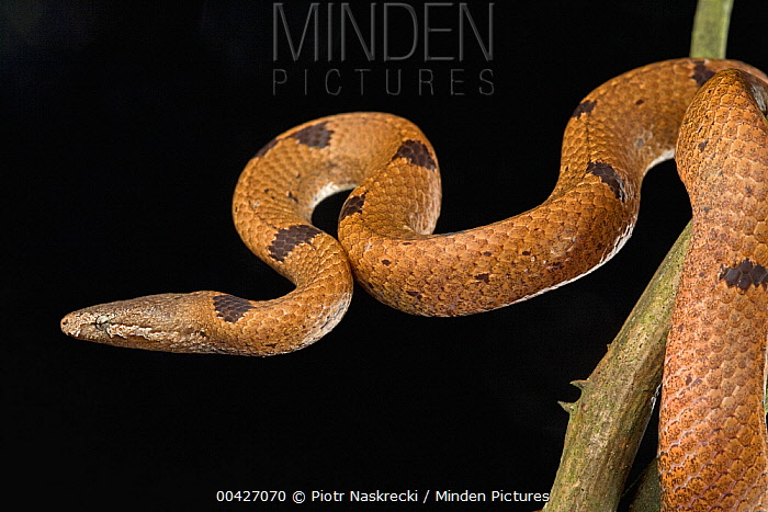 African Wolf Snake (Lycophidion nigromaculatum), Ajenjua Bepo Forest Reserve, Ghana  -  Piotr Naskrecki