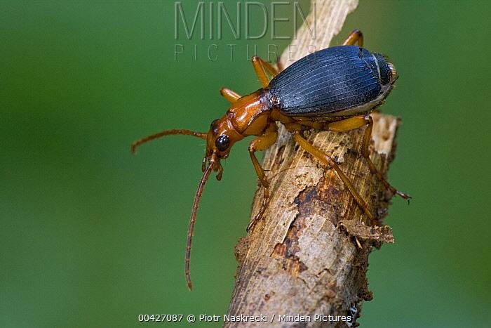 Ground Beetle (Carabidae), Atewa Range, Ghana  -  Piotr Naskrecki