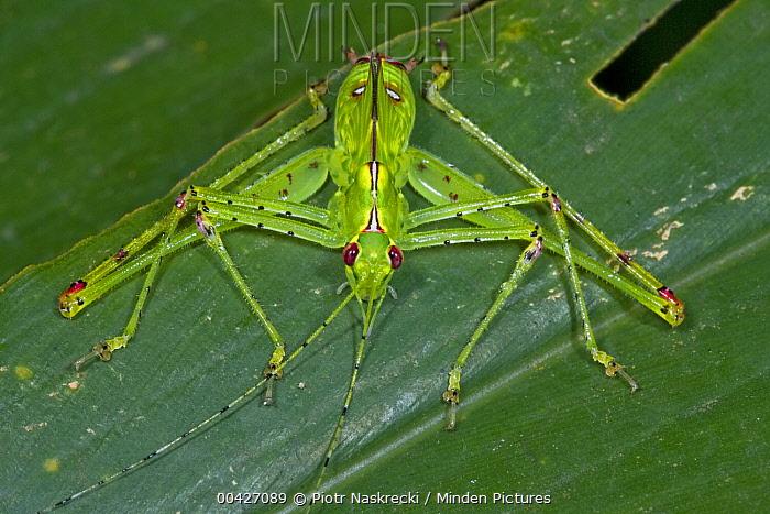Katydid (Tettigoniidae), Atewa Range, Ghana  -  Piotr Naskrecki