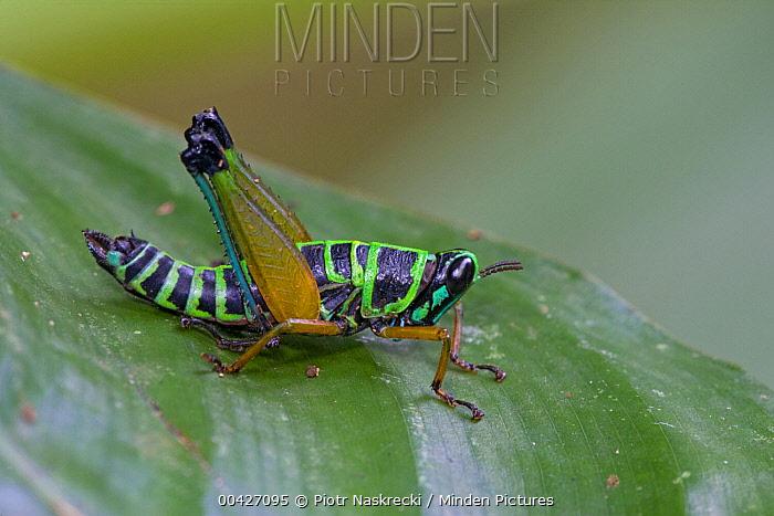 Grasshopper (Eumastacidae) has bright, aposematic coloration that advertises the toxicity of its body, Atewa Range, Ghana  -  Piotr Naskrecki