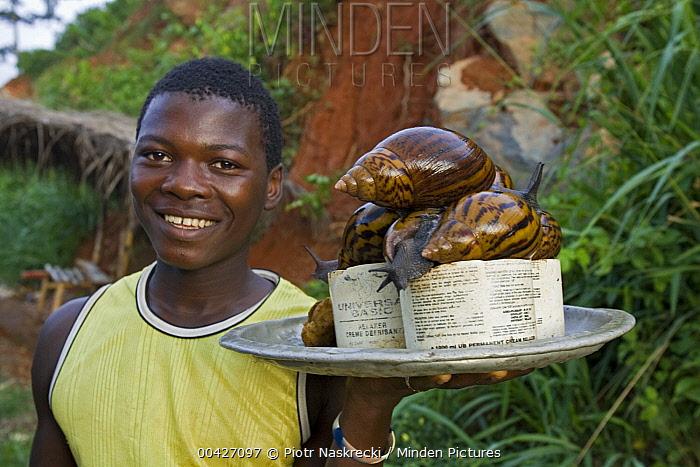 Giant African Land Snail (Achatina sp) group on platter, Atewa Range, Ghana  -  Piotr Naskrecki