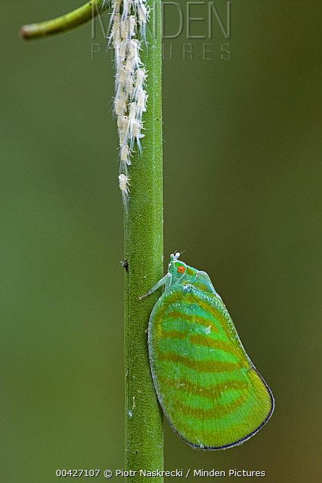 Flatid Planthopper (Flatidae) female guarding her young, Atewa Range, Ghana  -  Piotr Naskrecki