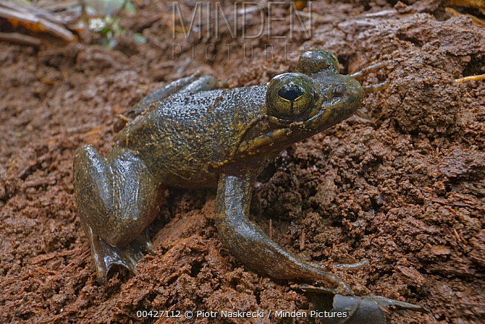 Togo Slippery Frog (Conraua derooi), Atewa Range, Ghana  -  Piotr Naskrecki