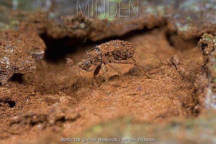 Assassin Bug (Reduviidae) covered with soil, Atewa Range, Ghana  -  Piotr Naskrecki