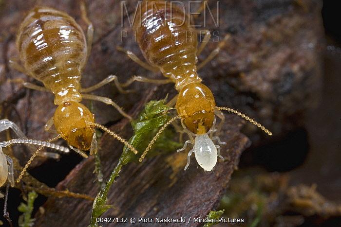 Termite worker carrying young nymph, Atewa Range, Ghana  -  Piotr Naskrecki