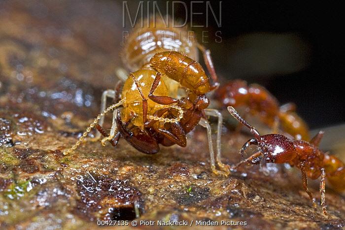 Safari Ant (Dorylus sp) group attacking termite, Atewa Range, Ghana  -  Piotr Naskrecki