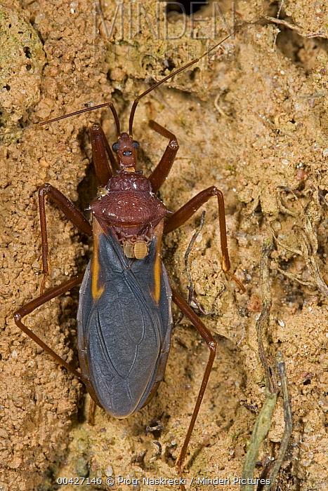 Assassin Bug (Reduviidae) with phoretic pseudoscorpions on its back, Rio Kapatchez, Guinea  -  Piotr Naskrecki