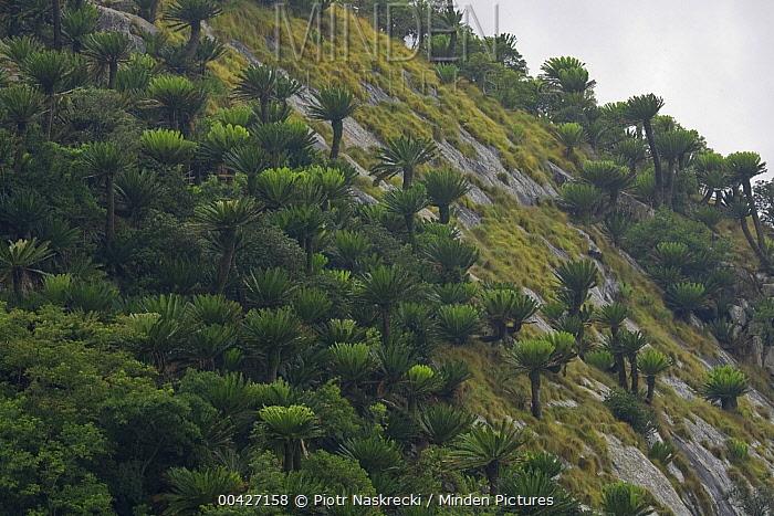 Modjadji Cycad (Encephalartos transvenosus) forest covering valley slopes, Modjadji Cycad Reserve, South Africa  -  Piotr Naskrecki