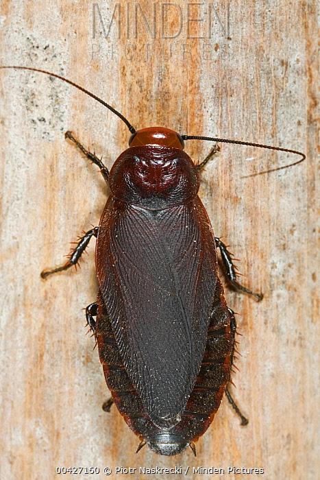 Giant Cockroach (Oxyhaloa deusta), Modjadji Cycad Reserve, South Africa  -  Piotr Naskrecki