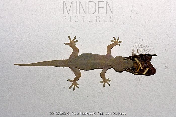 Moreau's Tropical House Gecko (Hemidactylus mabouia) catching moth, Mkambati Nature Reserve, South Africa. Sequence 2 of 3  -  Piotr Naskrecki