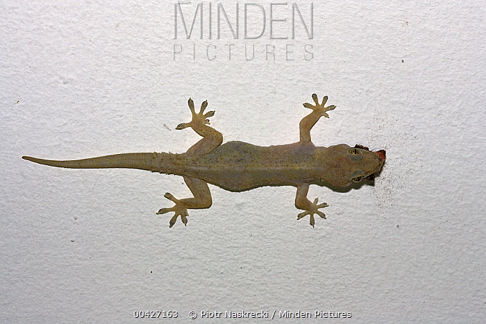 Moreau's Tropical House Gecko (Hemidactylus mabouia) eating moth, Mkambati Nature Reserve, South Africa. Sequence 3 of 3  -  Piotr Naskrecki
