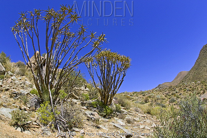 Quiver Tree (Aloe ramosissima) pair, Richtersveld, Northern Cape, South Africa  -  Piotr Naskrecki