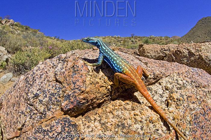 Cape Flat Lizard (Platysaurus capensis) in succulent karoo habitat, sunning on rock, Richtersveld, Northern Cape, South Africa  -  Piotr Naskrecki