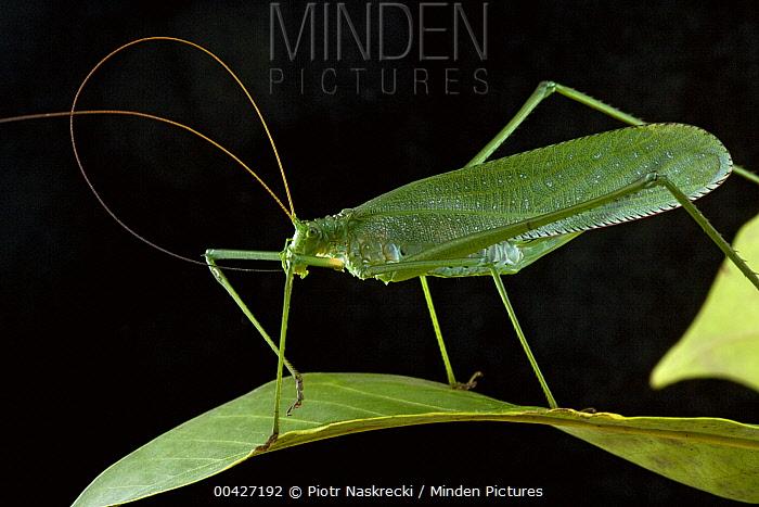 Katydid (Macrochiton sp) cleaning antennae, Brownsberg Reserve, Surinam  -  Piotr Naskrecki
