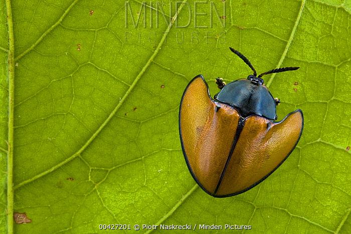 Leaf Beetle (Chrysomelidae) on leaf in rainforest, Paramaribo, Surinam  -  Piotr Naskrecki
