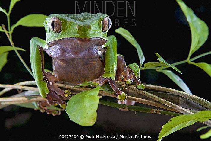 Giant Monkey Frog (Phyllomedusa bicolor) portrait, Brownsberg Reserve, Surinam  -  Piotr Naskrecki