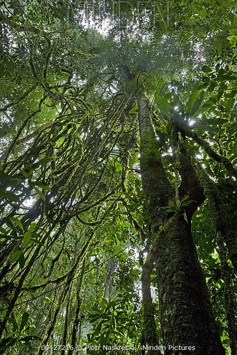 Looking up into rainforest canopy through lianas, Brownsberg Reserve, Surinam  -  Piotr Naskrecki