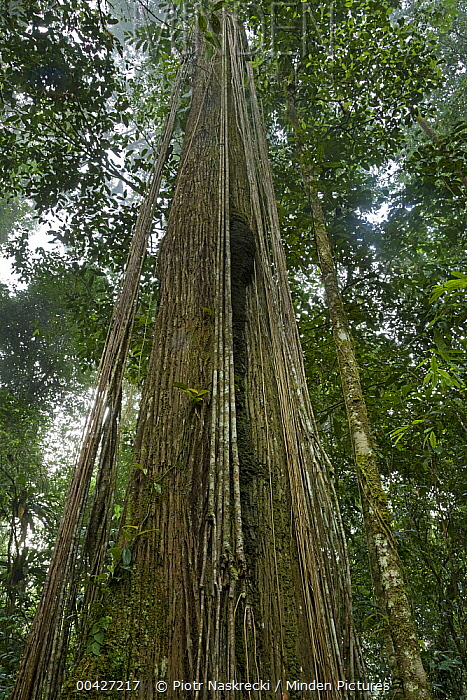 Looking up into rainforest canopy, Brownsberg Reserve, Surinam  -  Piotr Naskrecki