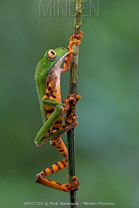 Tiger-striped Leaf Frog (Phyllomedusa tomopterna) climing twig, Brownsberg Reserve, Surinam  -  Piotr Naskrecki