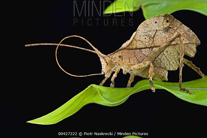 Katydid (Tettigoniidae) cleaning antenna, Brownsberg Reserve, Surinam  -  Piotr Naskrecki