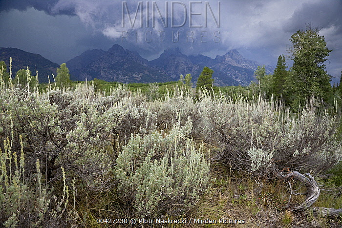 Sedge vegetation, Grand Teton National Park, Wyoming  -  Piotr Naskrecki