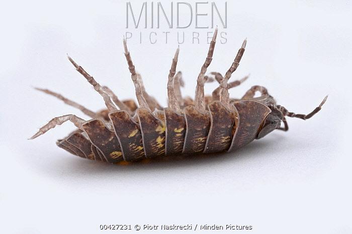 Pillbug (Armadillidium sp) on its back, Woburn, Massachusetts  -  Piotr Naskrecki