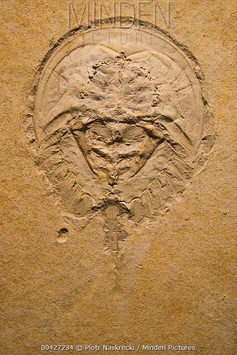 Horseshoe Crab (Mesolimulus walchi) fossil, from the Jurassic Solnhofen formation, Germany  -  Piotr Naskrecki