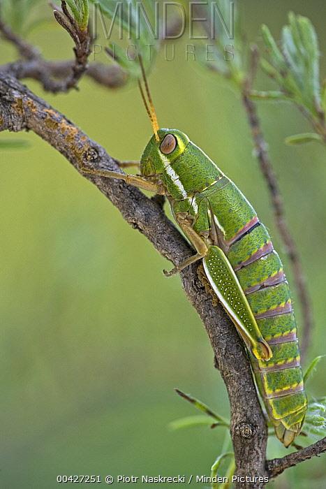 Wingless Grasshopper (Lentulidae) retain their nymphal appearance throughout their life, Maloti Mountains, Lesotho  -  Piotr Naskrecki