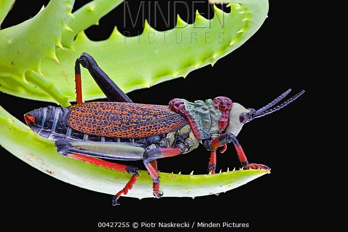 Koppie Foam Grasshopper (Dictyophorus spumans) with aposematic coloration to warn predators about their toxins, Kwazulu Natal, South Africa  -  Piotr Naskrecki