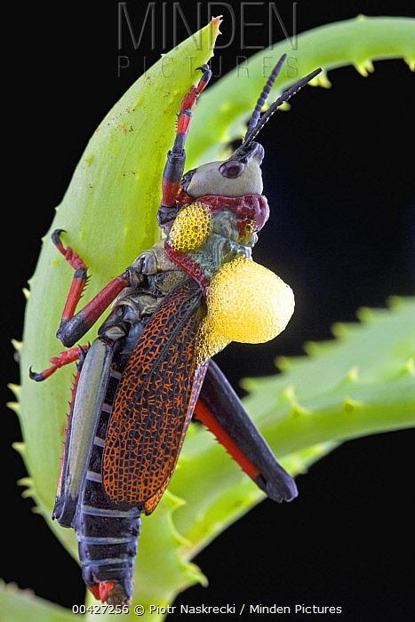 Grasshopper with aposematic coloration aerates toxic blood as a defensive behavior, Kwazulu Natal, South Africa  -  Piotr Naskrecki