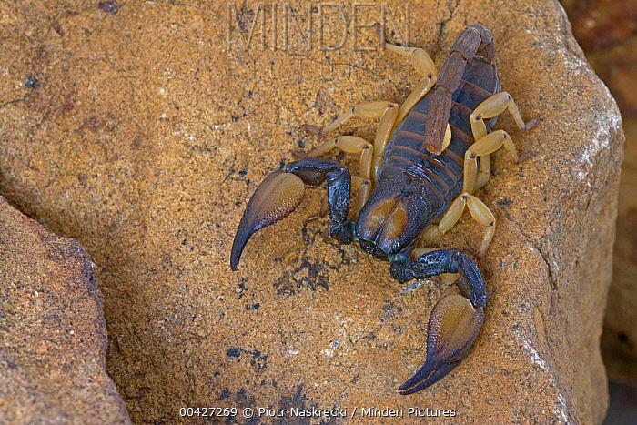 Scorpion, Cederberg Wilderness Area, South Africa  -  Piotr Naskrecki