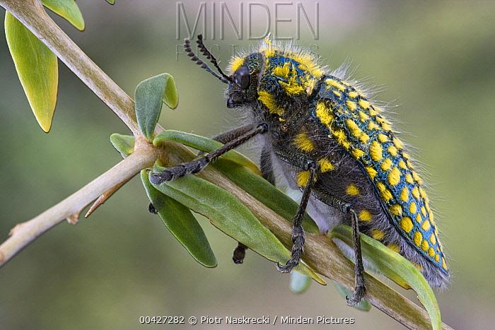 Jewel Beetle (Julodis sp) in succulent karoo habitat, Richtersveld, South Africa  -  Piotr Naskrecki