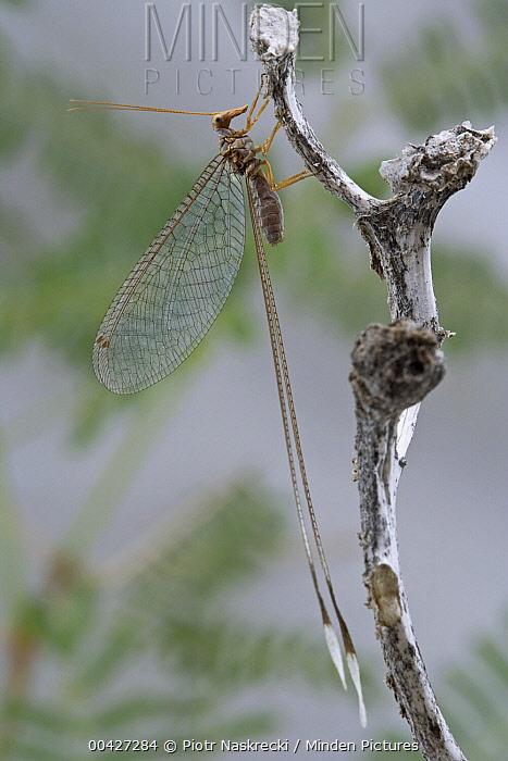 Ribbon-wing Lacewing (Nemia costalis), Richtersveld, Northern Cape, South Africa  -  Piotr Naskrecki