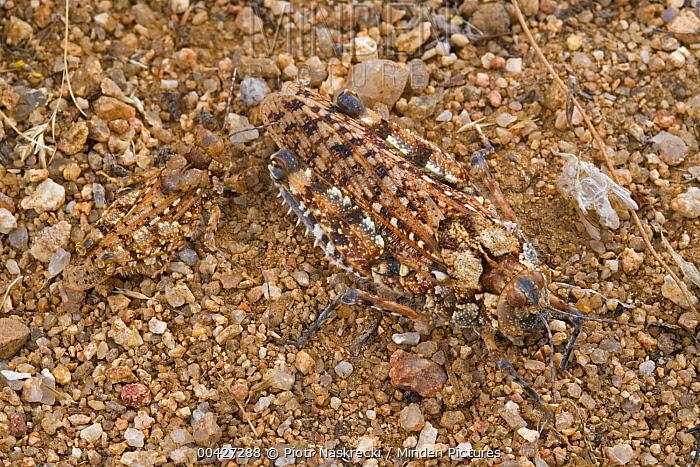 Toad Grasshopper (Batrachornis perloides) camouflaged on rocks, Goegap Nature Reserve, South Africa  -  Piotr Naskrecki
