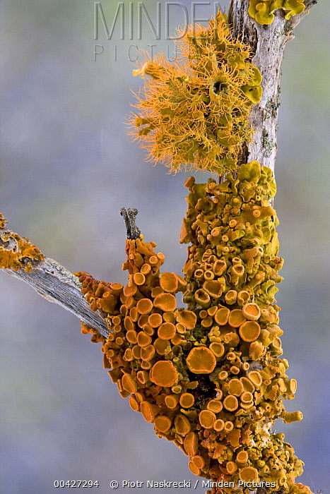 Lichen in succulent karoo habitat, Goegap Nature Reserve, South Africa  -  Piotr Naskrecki