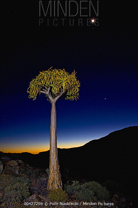 Quiver Tree (Aloe dichotoma) in succulent karoo habitat at night, Goegap Nature Reserve, Northern Cape, South Africa  -  Piotr Naskrecki