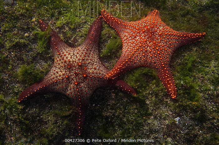Cortez Starfish (Pentaceraster cumingi) pair, Galapagos Islands, Ecuador  -  Pete Oxford
