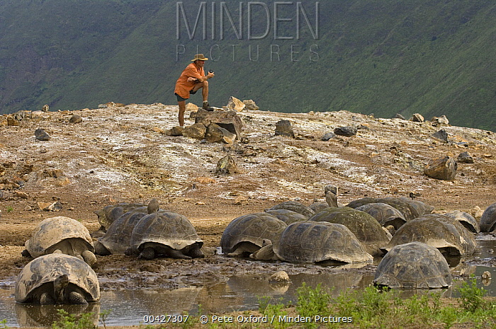 Volcan Alcedo Giant Tortoise (Chelonoidis vandenburghi) group in wallow with Alan McLean lookng on, Alcedo Volcano crater floor, Isabella Island, Galapagos Islands, Ecuador  -  Pete Oxford