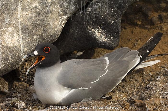 Swallow-tailed Gull (Creagrus furcatus) on nest calling, Hood Island, Galapagos Islands, Ecuador  -  Pete Oxford