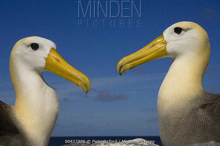 Waved Albatross (Phoebastria irrorata) pair courting, Hood Island, Galapagos Islands, Ecuador. Sequence 1 of 3  -  Pete Oxford