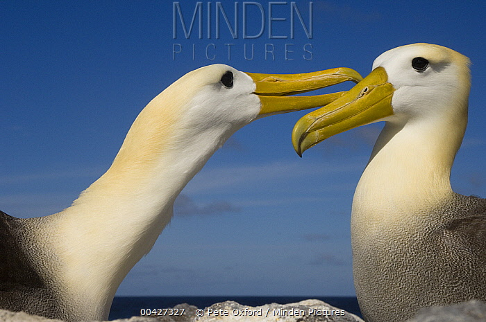 Waved Albatross (Phoebastria irrorata) pair courting, Hood Island, Galapagos Islands, Ecuador. Sequence 2 of 3  -  Pete Oxford