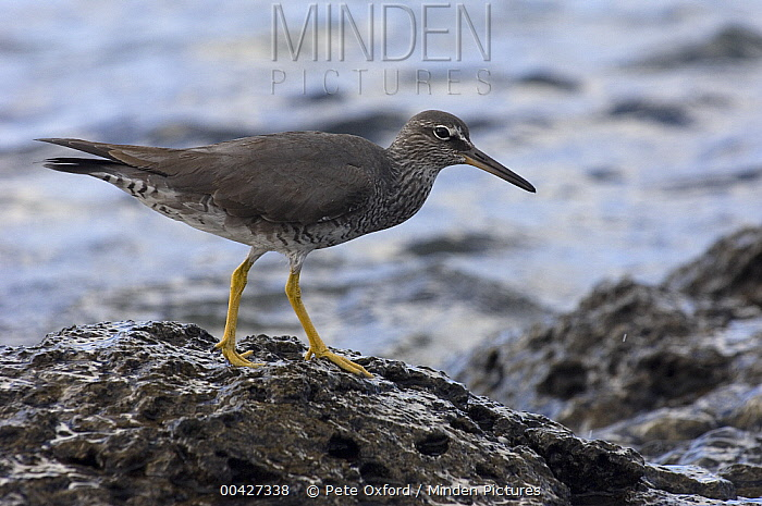 Wandering Tattler (Tringa incana) at shoreline, Hood Island, Galapagos Islands, Ecuador  -  Pete Oxford