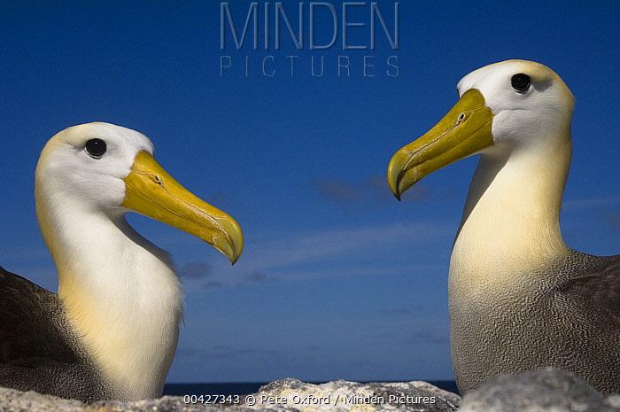 Waved Albatross (Phoebastria irrorata) pair, Hood Island, Galapagos Islands, Ecuador  -  Pete Oxford