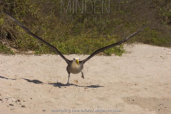 Waved Albatross (Phoebastria irrorata) taking flight, Hood Island, Galapagos Islands, Ecuador  -  Pete Oxford