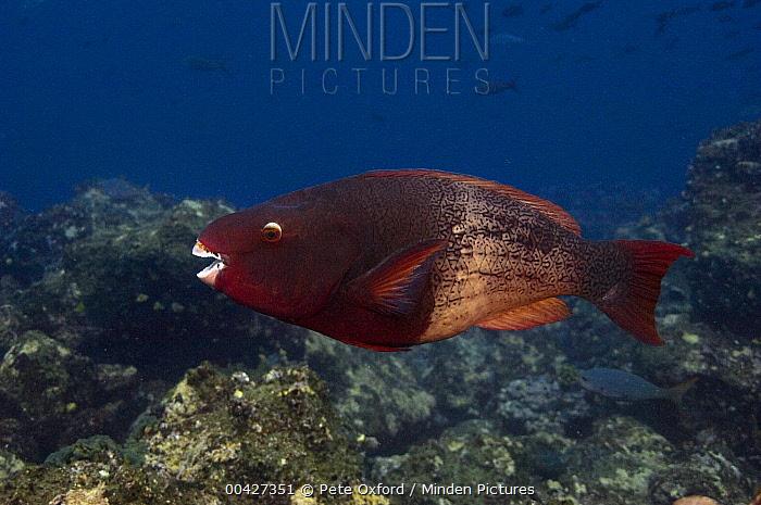 Redlip Parrotfish (Scarus rubroviolaceus), Wolf Island, Galapagos Islands, Ecuador  -  Pete Oxford