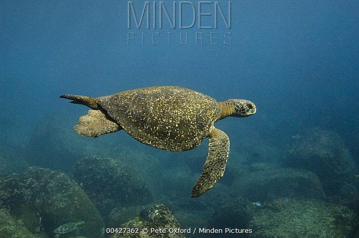 Pacific Green Sea Turtle (Chelonia mydas agassizi) swimming, Galapagos Islands, Ecuador  -  Pete Oxford