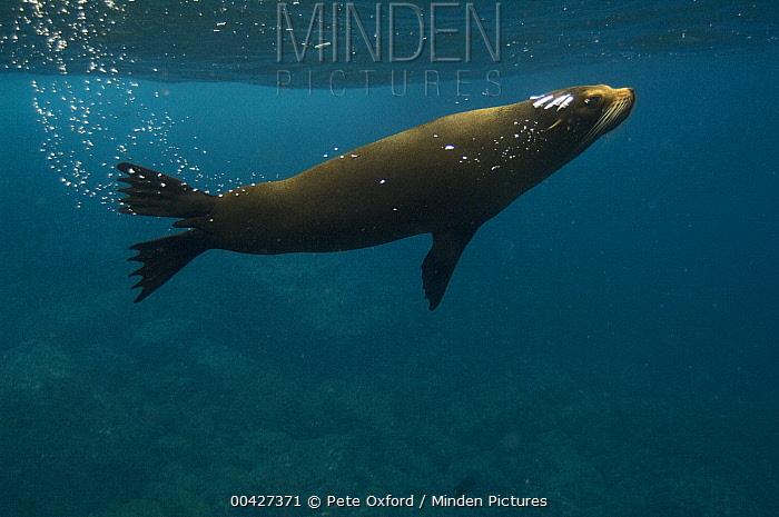 Galapagos Fur Seal (Arctocephalus galapagoensis) with bubble trail, Wolf Island, Galapagos Islands, Ecuador  -  Pete Oxford