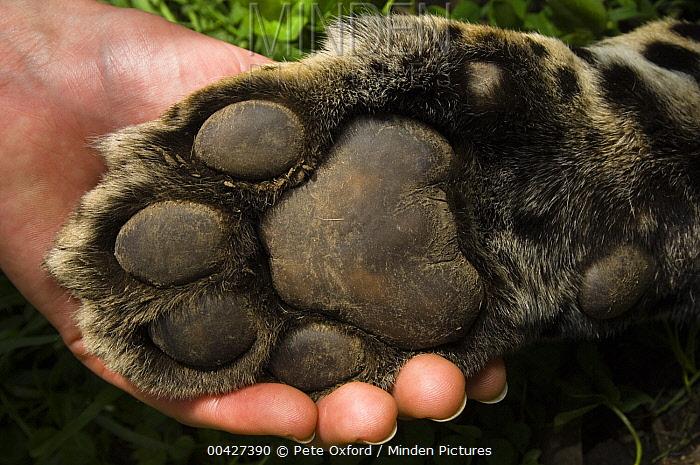 Jaguar (Panthera onca) paw of female held by biologist, Ecuador  -  Pete Oxford