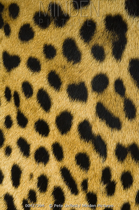Jaguar (Panthera onca) female fur pattern, Ecuador  -  Pete Oxford