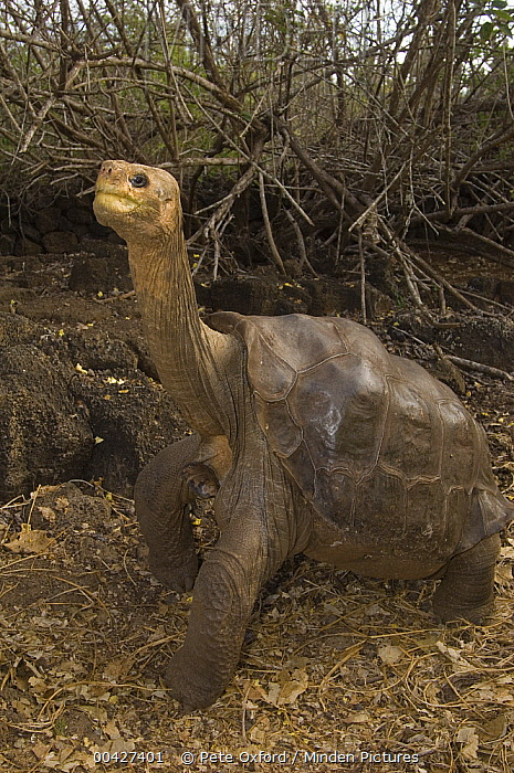 Pinta Island Galapagos Tortoise (Chelonoidis abingdoni), Lonesome George, the last survivor of his species, Darwin Reserve Station, Santa Cruz Island, Galapagos Islands, Ecuador  -  Pete Oxford
